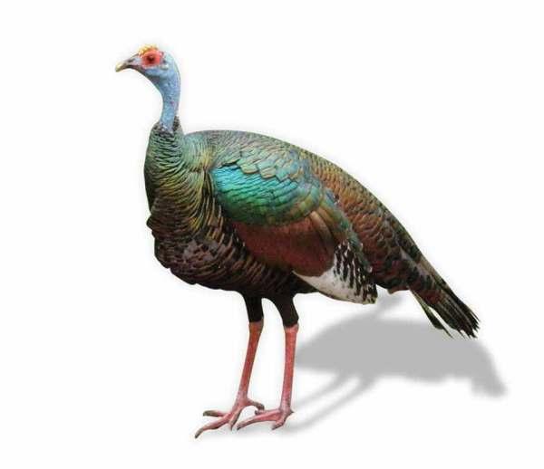 The oscillated or Petén turkey