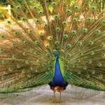 peacock (photo by César Tian)