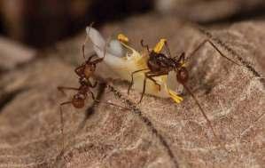 Leaf cutting ants (photo by Dr. Nicholas M. Hellmut)