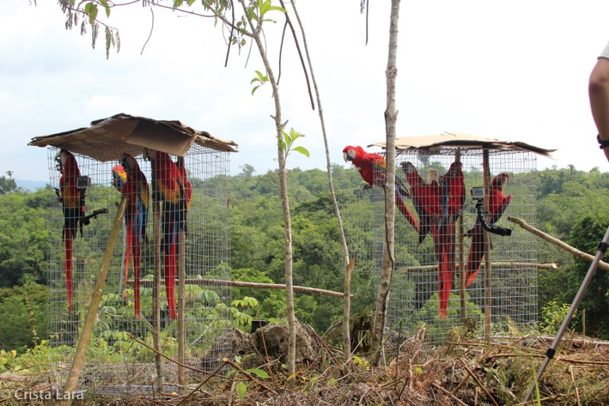 Macaws getting used to their new surroundings. photo by crista lara