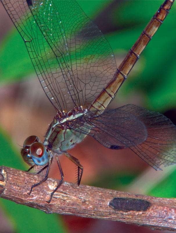 Guatemala dragonfly