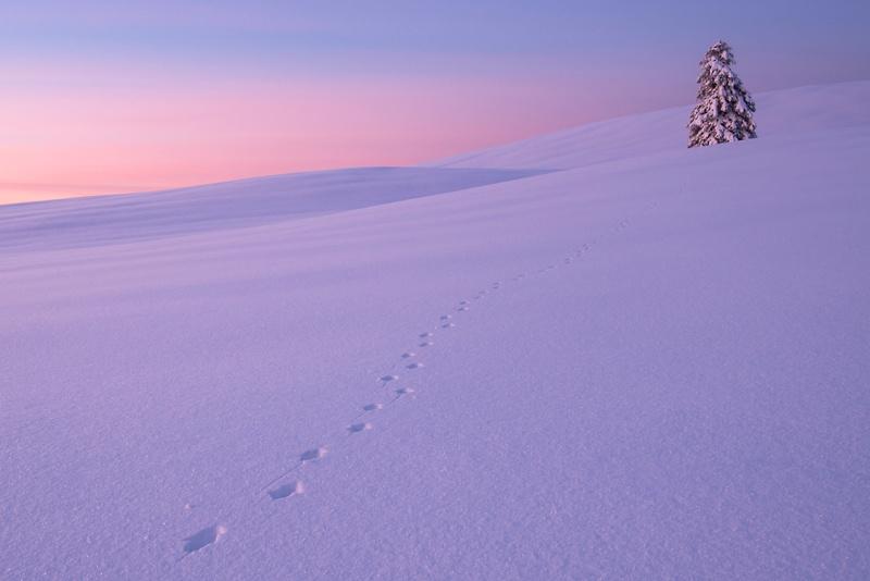 Empreintes de renard en hiver