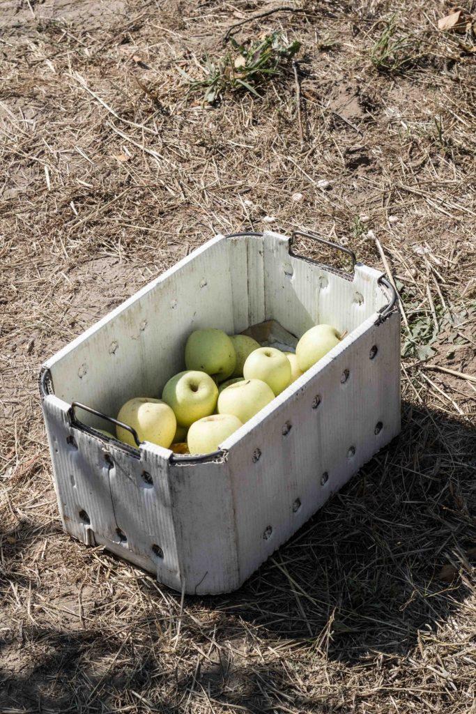 Apple Picking at Gabriel Farm