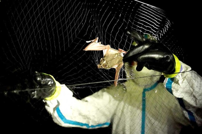A researcher removes a bat trapped in a mist net. Host species, such as bats, can transmit viruses to humans while not being sick themselves. (Reuters)