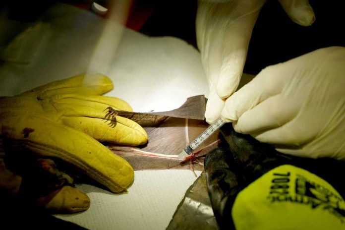 A blood sample is drawn from a captured bat. (Reuters)