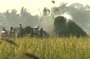 Giá lúa giảm trong khi tiền thuê máy suốt lúa lại cao. RFA PHOTO.