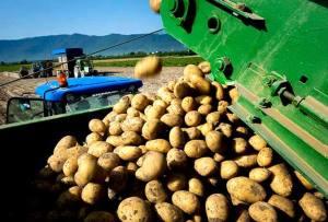patate_fucino_tabella