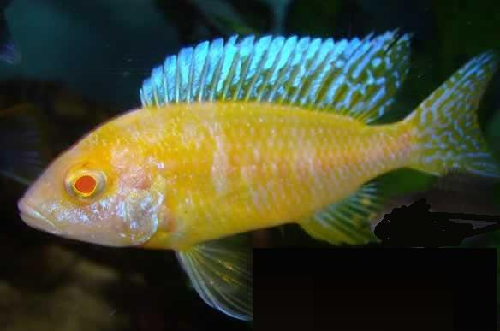 Albino sunshine peacock african cichlid 2 3 inches for Archer fish for sale