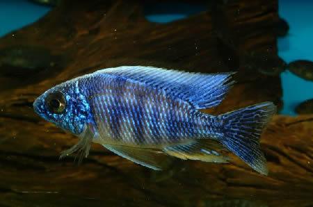 African Cichlid Aquarium Fish For Sale