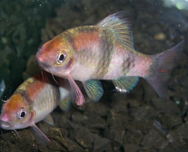 Long finned rosy barb 1 5 inches aquarium fish for sale for Archer fish for sale