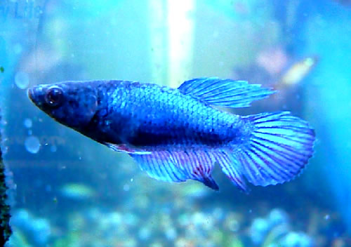 Female betta fish aquarium fish for sale for Betta fish sale