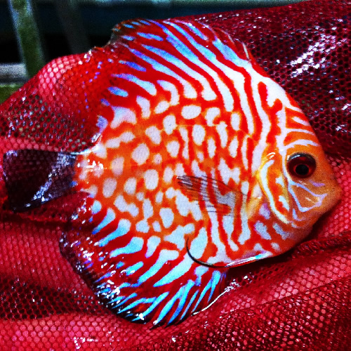 Sapphire dragon discus fish 3 4 inches aquarium fish for Dragon fish for sale