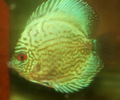 Green Turquoise Discus 2 Inches Aquarium Fish For Sale