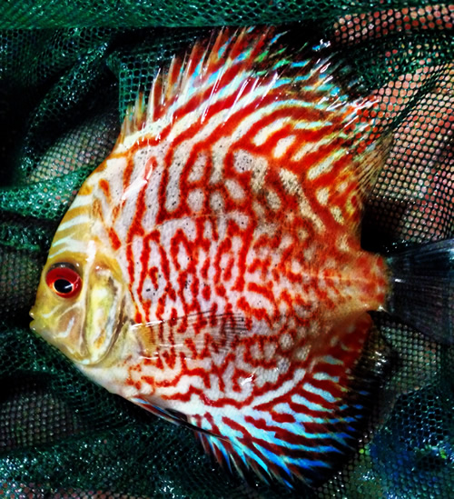 High fin red mosaic dragon discus 3 4 inches aquarium for Dragon fish for sale