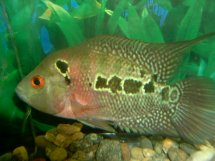 Flower Horn Cichlids   Product categories   Aquarium Fish