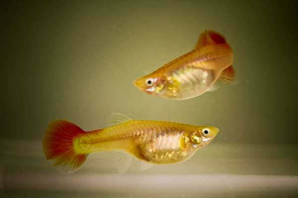 Guppies aquarium fish for sale for Guppy fish for sale