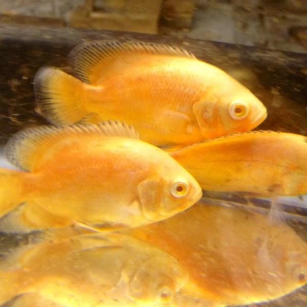 Oscar aquarium fish for sale for Archer fish for sale