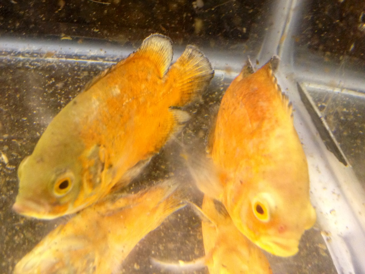 Solid tangerine orange oscar aquarium fish for sale for Archer fish for sale