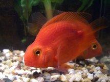red parrot cichlid 1 inch aquarium fish for sale