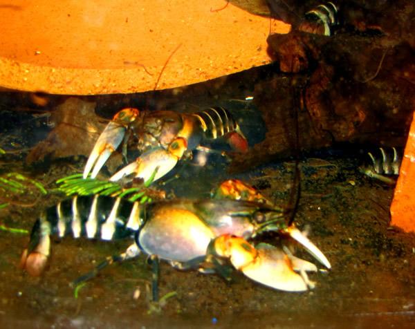 Pink Flash Electric Blue Crayfish (6-8 Inches) – Aquarium Fish For Sale