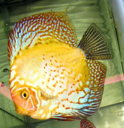 Red Spotted Lemon Peel Discus 2 Inches Aquarium Fish