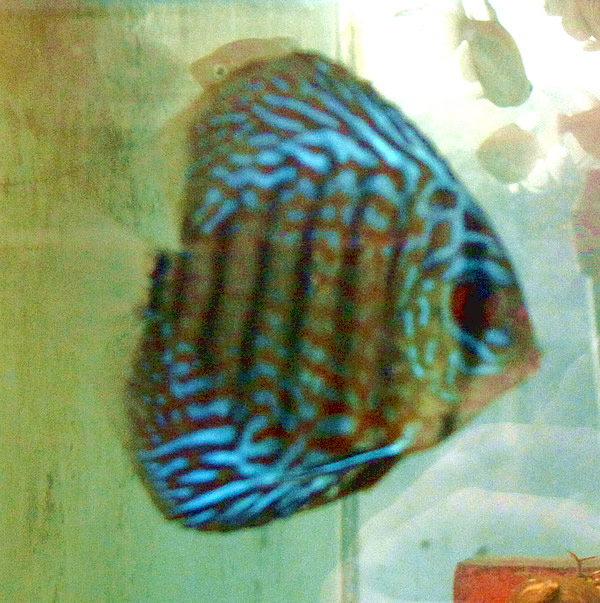 Royal red tiger striped discus 2 inches aquarium fish for Tiger striped fish