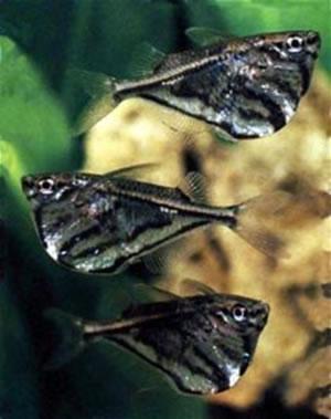 Marble Hatchet Tetra Aquarium Fish For Sale