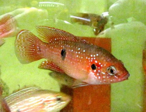 Triple red jeweled cichlid 2 inch aquarium fish for sale for Archer fish for sale
