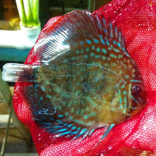 Royal red rio tapajo wild caught discus 4 5 inches for Doctor fish for sale