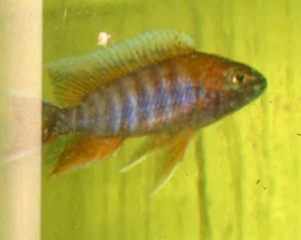 Red Flame Peacock African Cichlid (2 - 3 Inches)