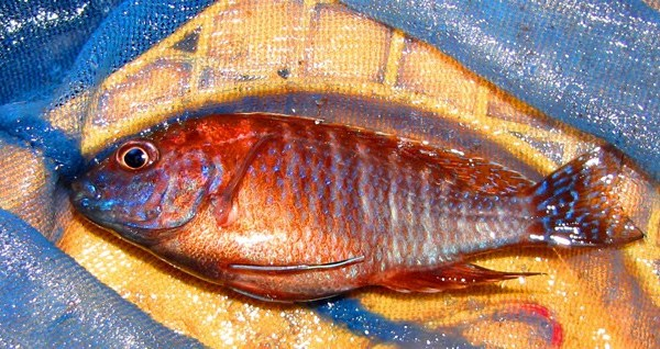 Red Apache African Cichlid (2 - 3 Inches)