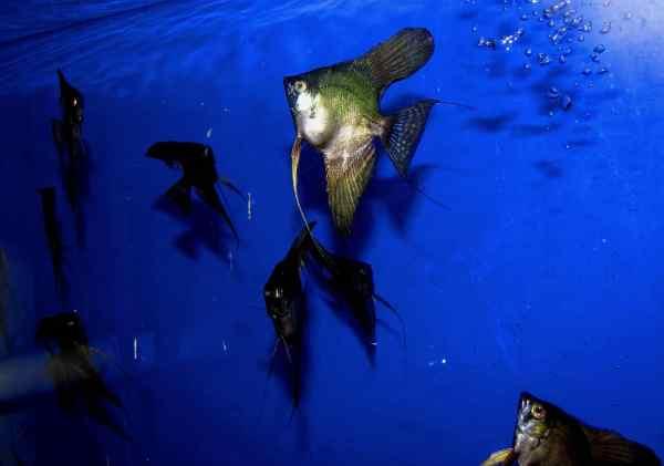 Black Smokey Angelfish