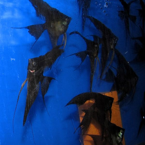 Double Dark Veil Angelfish