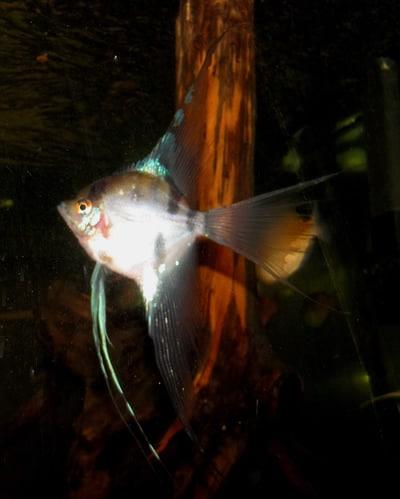 German Blue Veil Angelfish