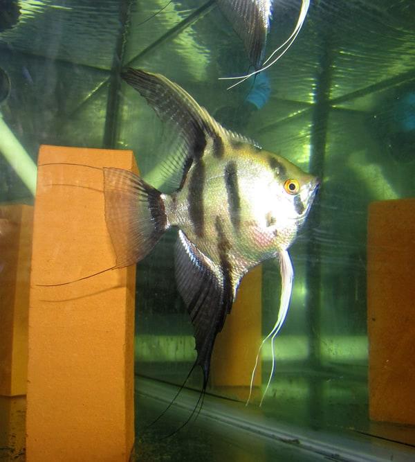Gold Warrior Angelfish