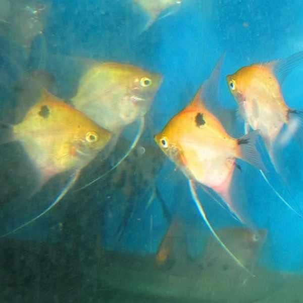 Koi Angelfish - AAA Grade