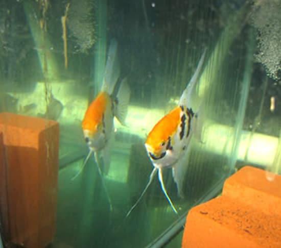 Orange Cap Angelfish
