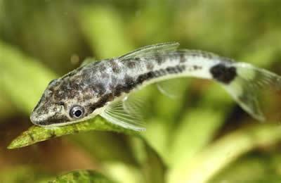 Ottocinclus Catfish