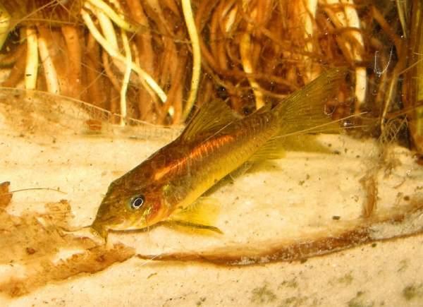 Laser Red Cory Catfish