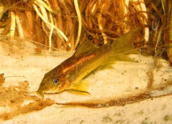 Laser Red Cory Catfish