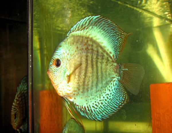 High Finned Emerald Scorpion Discus (2 Inches)