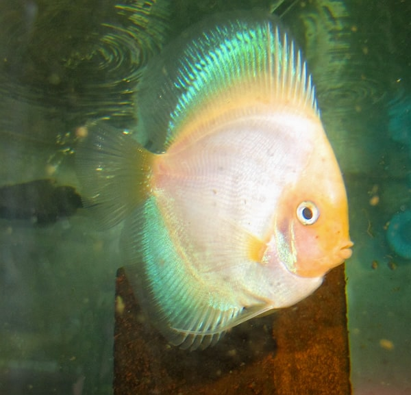 Mother Of Pearl Discus (2 Inches)