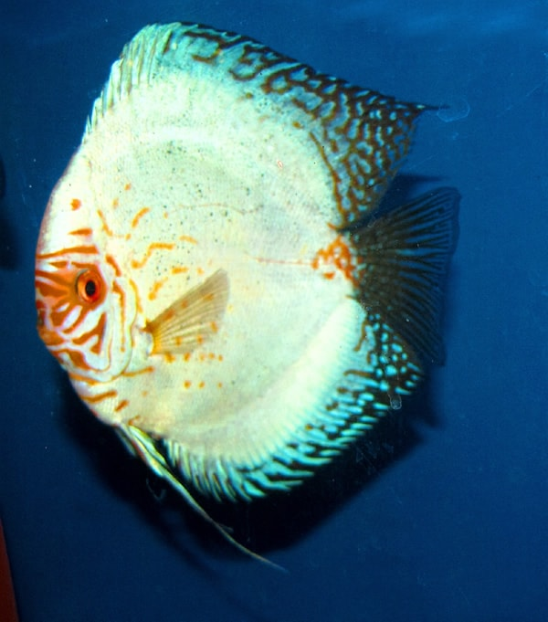 Giant Cerulian White Imperial Discus