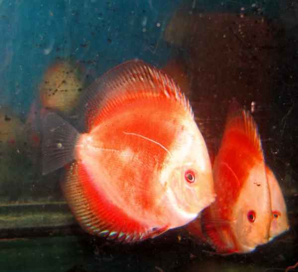 White Face Cherry Dragon Discus