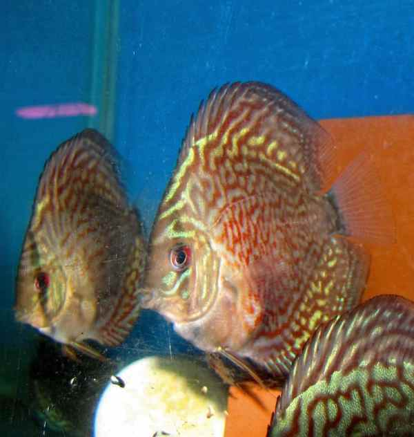 Royal Checkerboard Green Discus (2 Inches)
