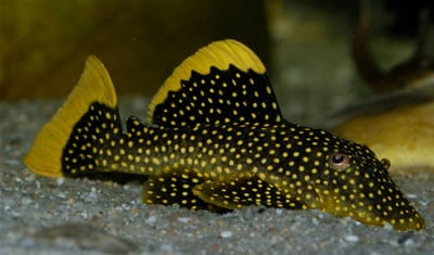 Gold Nugget Pleco