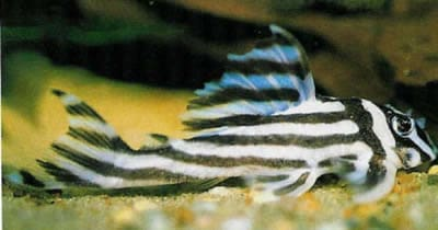 False Zebra Pleco (2 1/2 Inches)