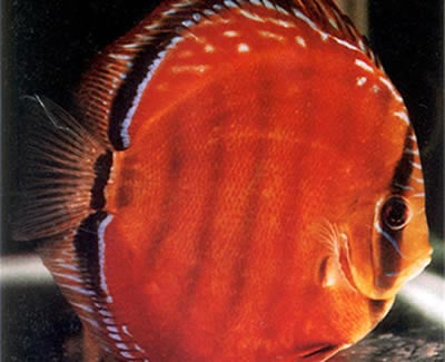 Alenquer Red Discus (2 Inches)