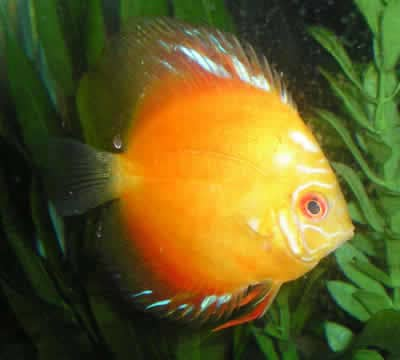 Apricot Discus (2 Inches)