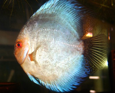 Blue Panda Discus (2 Inches)